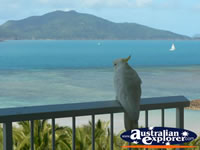 Cockatoo in Hamilton Island . . . CLICK TO ENLARGE