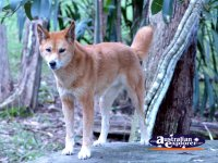 Dingo . . . CLICK TO ENLARGE