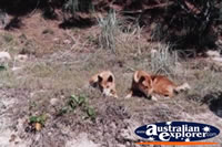 Dingoes . . . CLICK TO ENLARGE