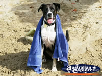 Dog on the beach with his towel . . . CLICK TO ENLARGE