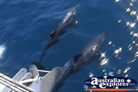 Bottlenose Dolphins in Port Stephens