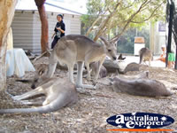 Group of Kangaroos at Dreamworld on the Gold Coast . . . CLICK TO ENLARGE