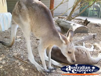 Kangaroo Looking for Food at Dreamworld . . . CLICK TO ENLARGE