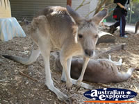 Kangaroo Posing at Dreamworld . . . CLICK TO ENLARGE