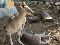 Kangaroos at Dreamworld . . . CLICK TO ENLARGE
