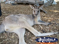 Kangaroo Lying Down at Dreamworld . . . CLICK TO ENLARGE