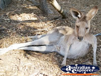 Kangaroo Resting its Legs at Dreamworld . . . CLICK TO ENLARGE