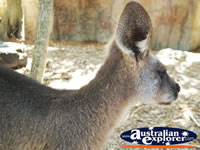 Kangaroo Profile Shot . . . CLICK TO ENLARGE