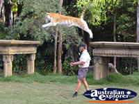Dreamworld Begal Tiger Leaping . . . CLICK TO ENLARGE