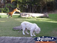 Two Dreamworld Tigers . . . CLICK TO ENLARGE