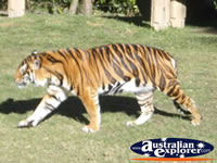 Tiger at Dreamworld . . . CLICK TO ENLARGE