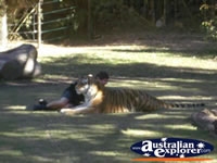 Tigers at Dreamworld with Trainer . . . CLICK TO ENLARGE
