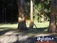 Tigers at Dreamworld . . . CLICK TO ENLARGE