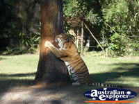 Tigers Scratching Tree at Dreamworld . . . CLICK TO ENLARGE