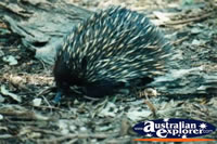 Echidna Close Up . . . CLICK TO ENLARGE