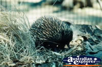 Echidna . . . CLICK TO ENLARGE