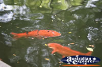 Chinese Garden Fish . . . CLICK TO ENLARGE