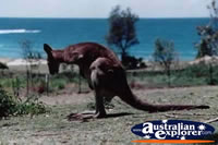 Hungry Kangaroo . . . CLICK TO ENLARGE