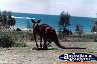 Kangaroo by the Beach . . . CLICK TO ENLARGE