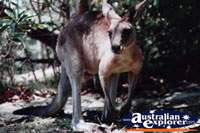 Close up of a Kangaroo . . . CLICK TO ENLARGE