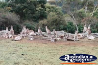 A Family of Kangaroo . . . CLICK TO ENLARGE