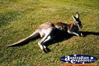Kangaroo at Rest . . . CLICK TO ENLARGE