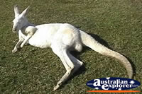 Kangaroo Albino . . . CLICK TO ENLARGE