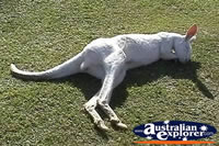 Kangaroo Albino Sleeping . . . CLICK TO ENLARGE
