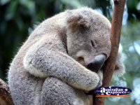 Koala Snuggling . . . CLICK TO ENLARGE