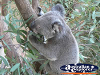Koala eating in a tree . . . CLICK TO ENLARGE