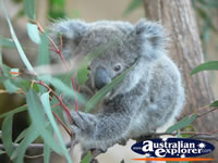 Baby Koala in a tree . . . CLICK TO ENLARGE