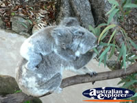 Koala with  Joey . . . CLICK TO ENLARGE