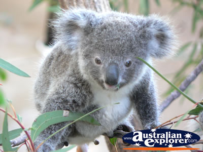 Baby Koala . . . CLICK TO VIEW ALL KOALAS POSTCARDS