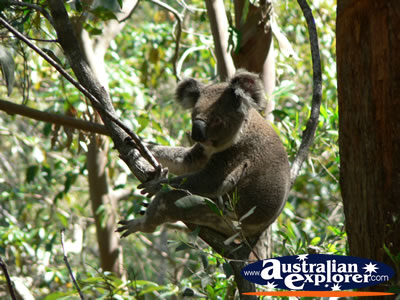 Koala relaxing in a tree . . . CLICK TO VIEW ALL KOALAS POSTCARDS
