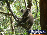 Koala relaxing in a tree . . . CLICK TO ENLARGE