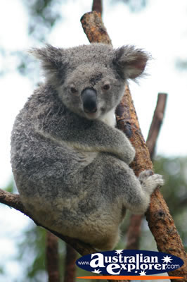 Adult Koala . . . CLICK TO VIEW ALL KOALAS POSTCARDS