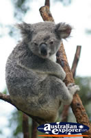 Adult Koala . . . CLICK TO ENLARGE