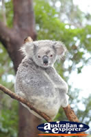 Healthy Koala . . . CLICK TO ENLARGE
