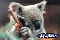 Koala in Port Stephens