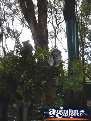Koalas in Trees from a Distance . . . VIEW ALL KOALAS PHOTOGRAPHS