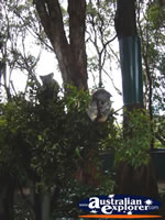 Koalas in Trees from a Distance . . . CLICK TO ENLARGE