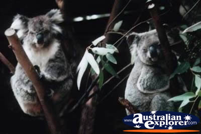 Koalas in Trees . . . VIEW ALL KOALAS PHOTOGRAPHS