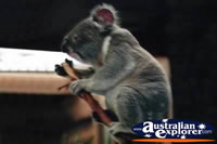 Cute Koala . . . CLICK TO ENLARGE