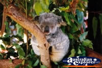Koala Sleeping in Tree . . . CLICK TO ENLARGE