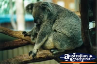 Koala Resting . . . CLICK TO ENLARGE