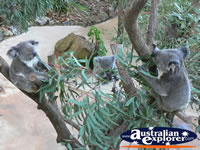 Group of Koalas in a tree . . . CLICK TO ENLARGE