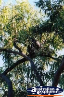 Koala at Magnetic Island . . . CLICK TO ENLARGE