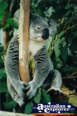 Koala Tired . . . CLICK TO VIEW ALL KOALAS POSTCARDS