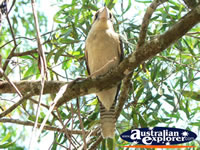 Kookaburra in Tree . . . CLICK TO ENLARGE