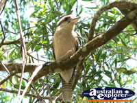 Kookaburra in tree in the Glasshouse Mountains . . . CLICK TO ENLARGE